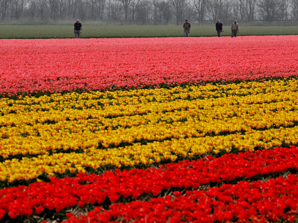 Workers are seen amidst fields of tulips and daffodils near Sint Maartensvlotbrug, north western Netherlands, Tuesday April 25, 2006. Relatively cold spring temperatures had delayed the blossoming of tulips but a spell of warmer weather brought color to the fields. (AP Photo/Peter Dejong)