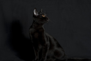 Animals___Cats_Bombay_black_on_a_black_background_092220_