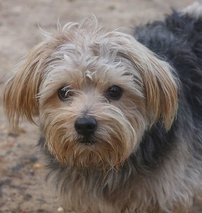 s662-norfolk-terrier