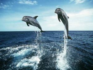 Дельфины пара