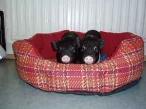 Место свинки