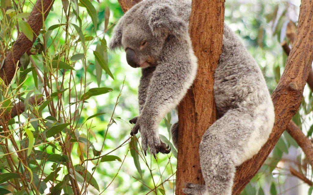 коала-2