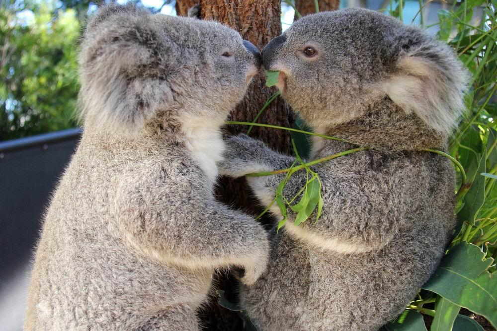 коала-3