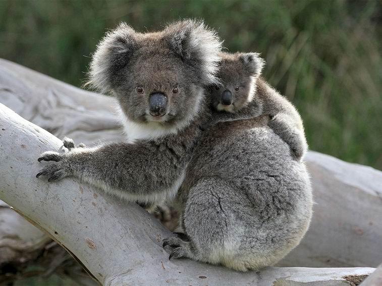 коала-4