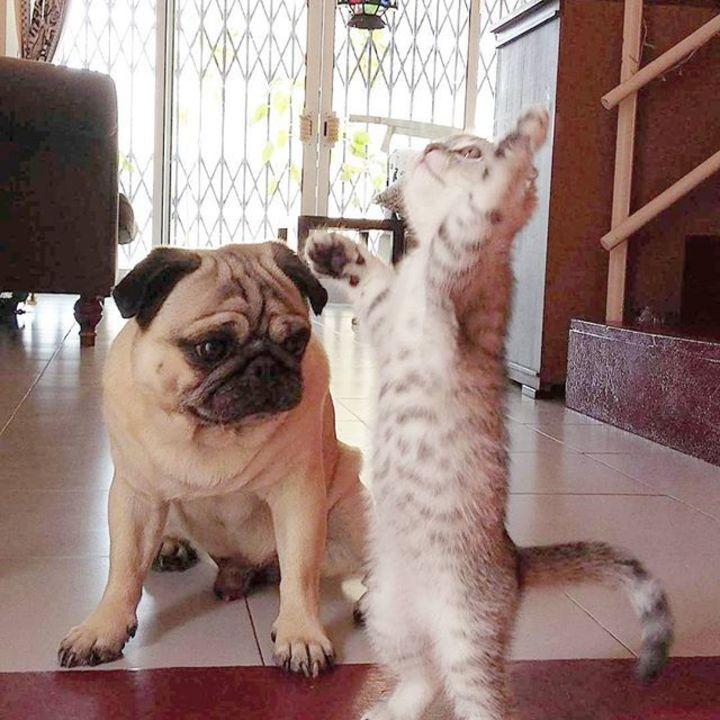 мопс и кот