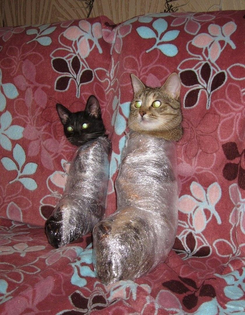 коты в скотче