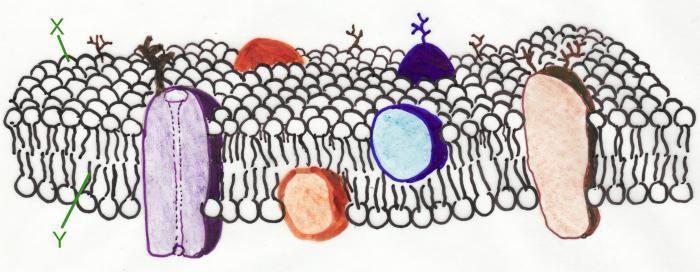 плазматическая мембрана
