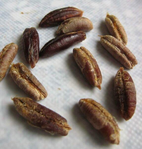 Семена фиников