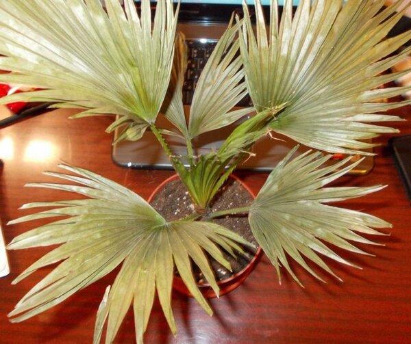 Пальма Ливистона — желтеют листы
