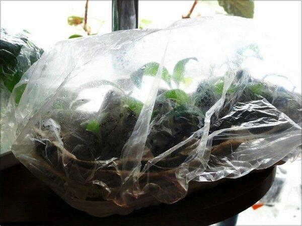 Черенки филодендрона под пленкой