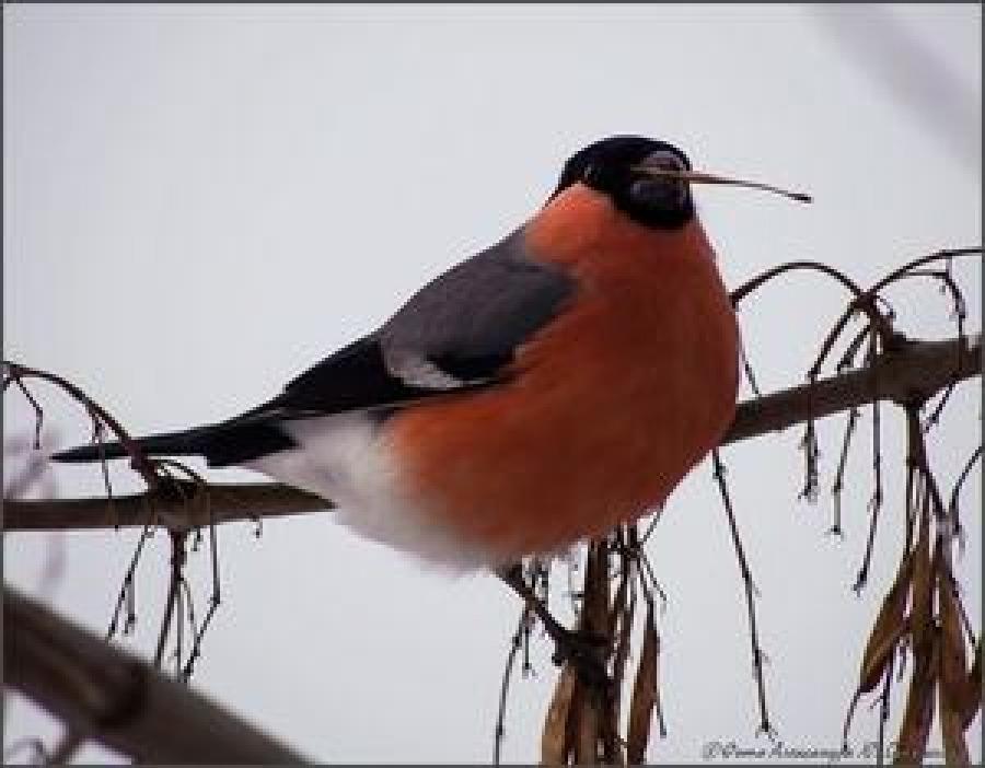 Птица снегирь: описание, образ жизни и среда обитания