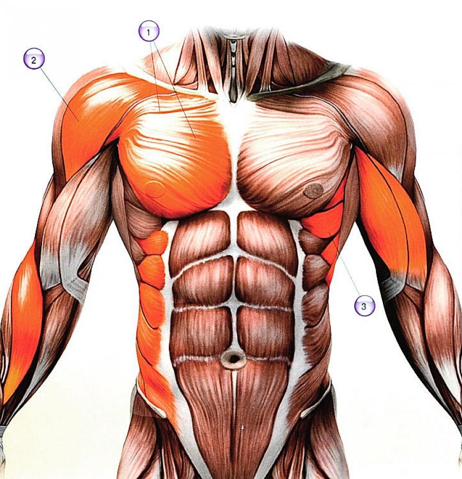 Мышцы синергисты приведите примеры