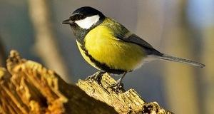 Большая синица - фото птицы