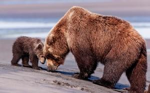 Медведица и медвежата - сколько они весят