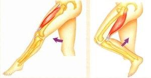 Какие бывают мышцы у человека