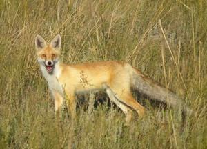 Степная лисица - хищное млекопитающее рода лисиц