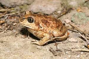 Лягушка-чесночница встречается в степи