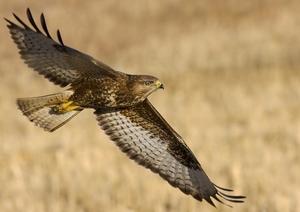Летящий канюк