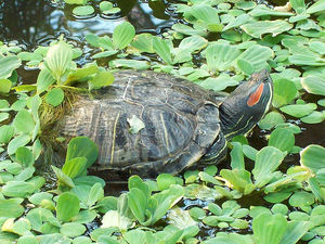 Красноухие черепахи в природе