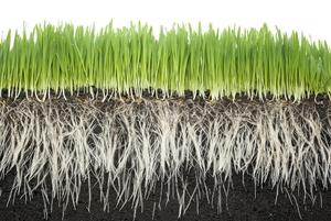 Корень — часть растения, с помощью которой оно закрепляется в почвенном субстрате и добывает воду и питательные вещества