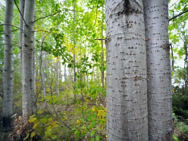 Высота дерева осины