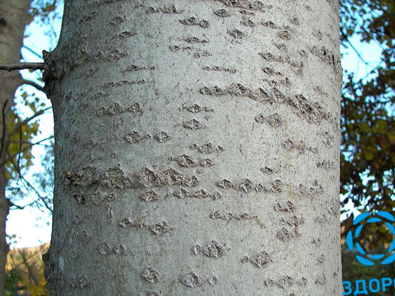 Дерево осина в саду