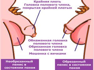 Чем отличается простой половой орган от обрезанного