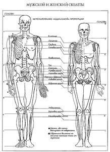 Различия в строении грудной клетки мужчины и женщины