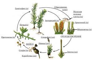 жизненный цикл мха кукушкина льна