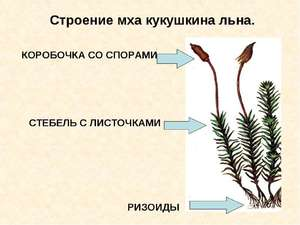 Цикл развития мха кукушкиного льна