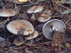 Как самому вырастить гриб синеножку