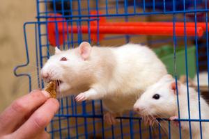 Особенности ухода за домашней крысой