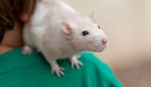 Срок жизни домашней крысы