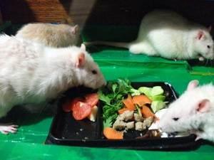 Кормление домашней крысы