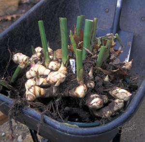 Канна (Canna) - род многолетних травянистых корневищных растений