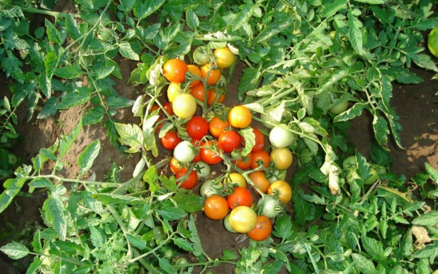 Томат «Гном». Описание сорта и характеристика урожайности ...