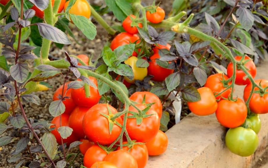 Томат Санька: характеристика и описание сорта помидор с фото