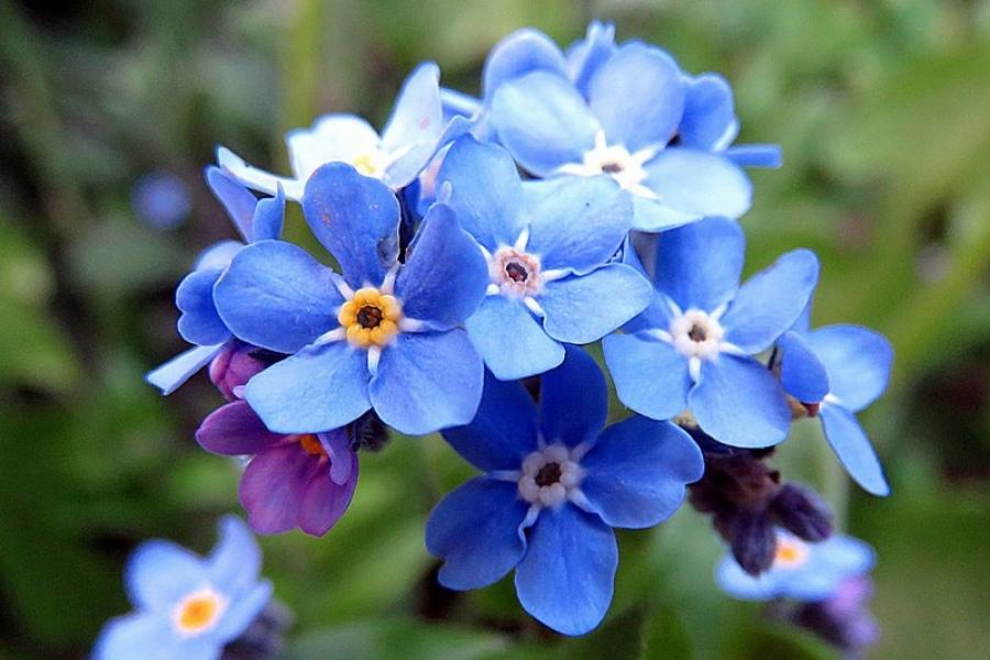 Незабудка - описание цветка, выращивание, уход и размножение