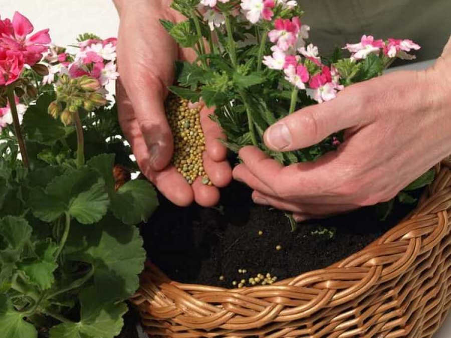 Чем подкормить герань для обильного цветения дома: лучшие ...