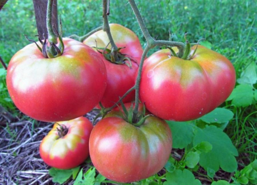 Томат Микадо розовый: описание и особенности выращивания в ...