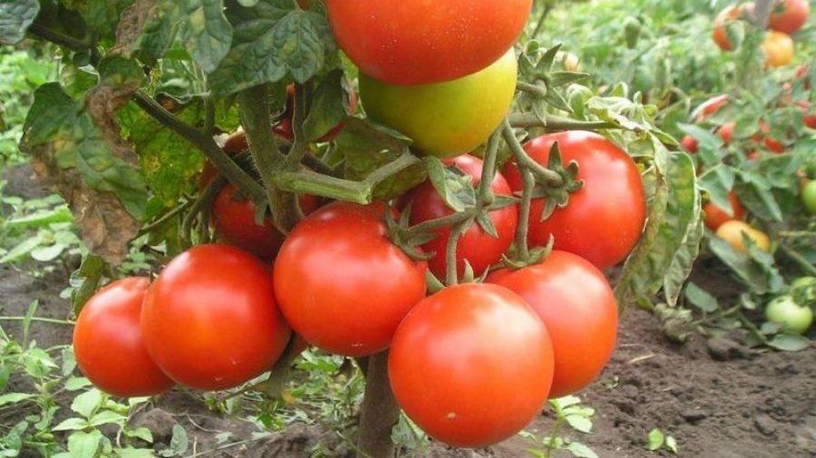 Сорта низкорослых томатов для теплиц: лучшие виды помидоров ...