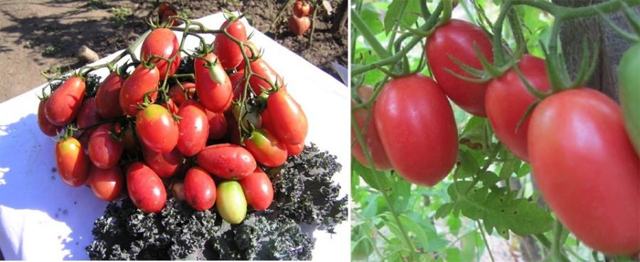 37 урожайных сортов томатов для открытого грунта и теплиц