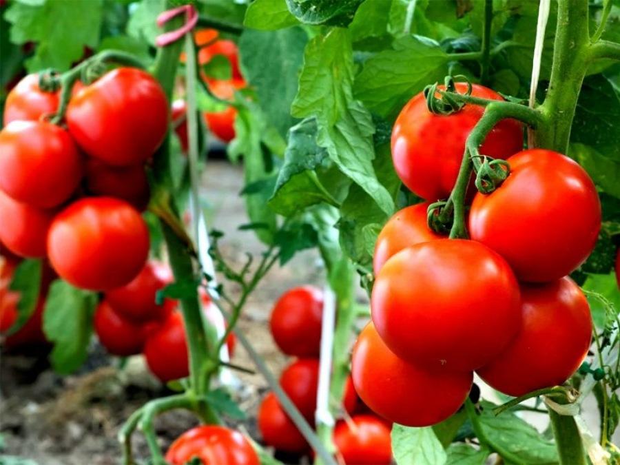 Томат сорта Ажур • выращивание, характеристика и описание
