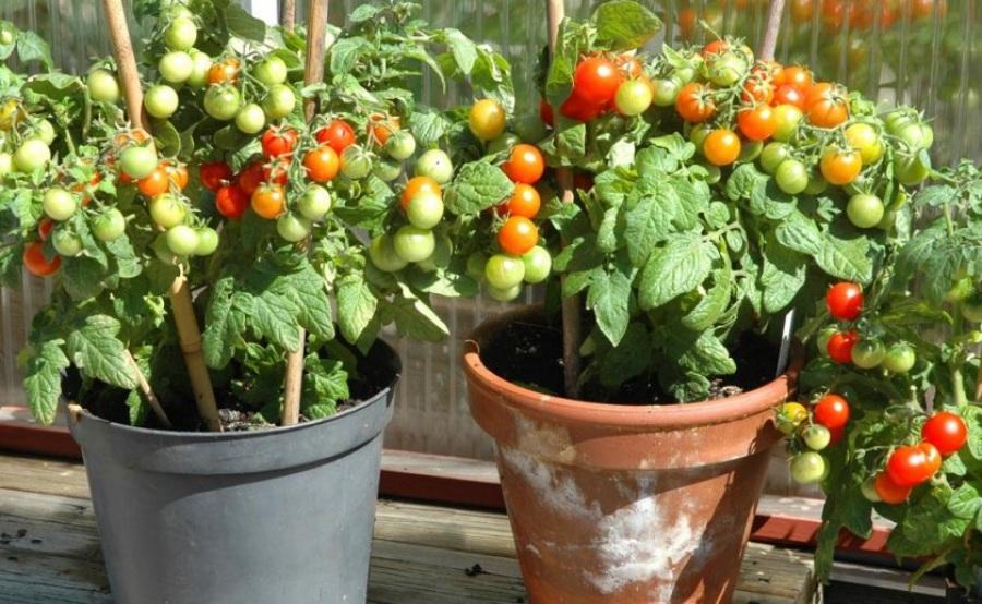 Индетерминантные и детерминантные сорта томатов: отличие ...