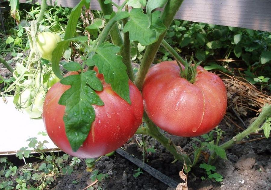 Лучшие сорта ранних томатов для теплиц и открытого грунта