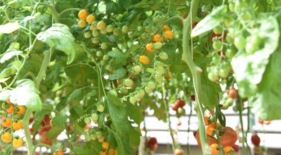 Как выращивать томаты: подробная инструкция на Supersadovnik.ru