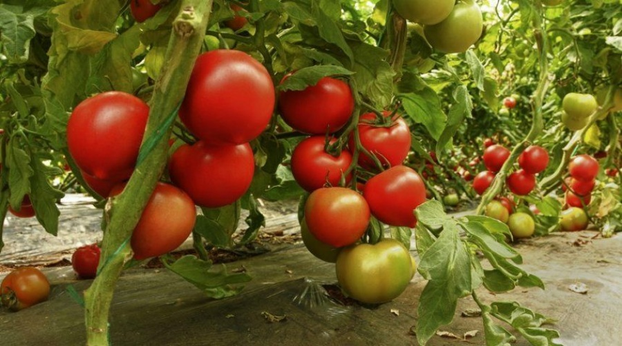 Томат ильич f1: описание сорта и особенности выращивания ...