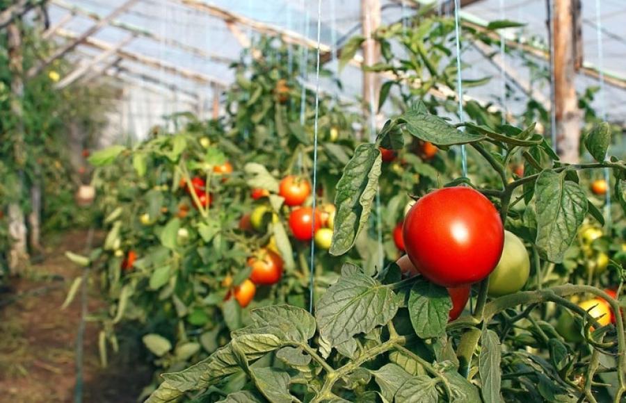 Ультраскороспелые сорта томатов: фото и описание