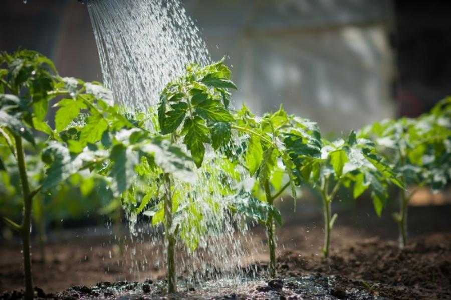 Как поливать помидоры в теплице, чтобы лучше росли и ...